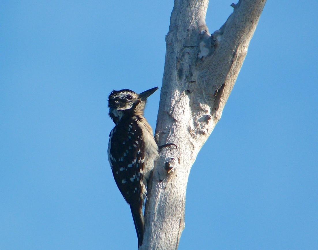 Hairy Woodpecker, Delphi Abaco 7