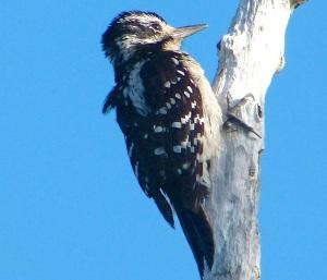 Hairy Woodpecker, Delphi Abaco Header