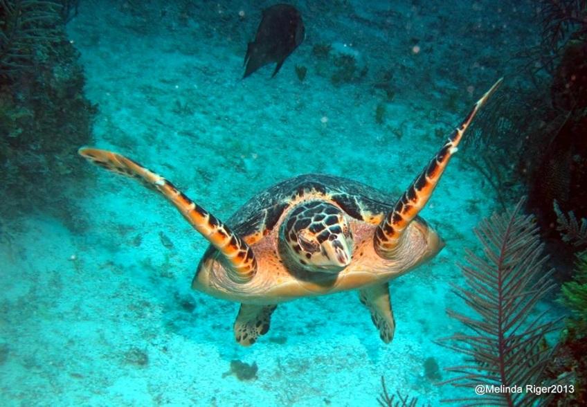 Hawksbill Turtle © Melinda Riger @ G B Scuba