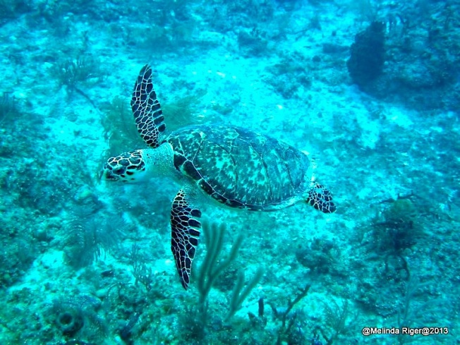 Hawksbill Turtle ©Melida Riger @ G B Scuba