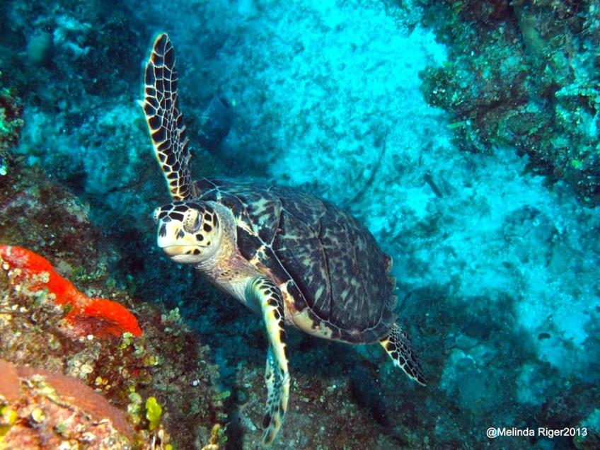 Hawksbill Turtle ©Melinda Riger @ G B Scuba