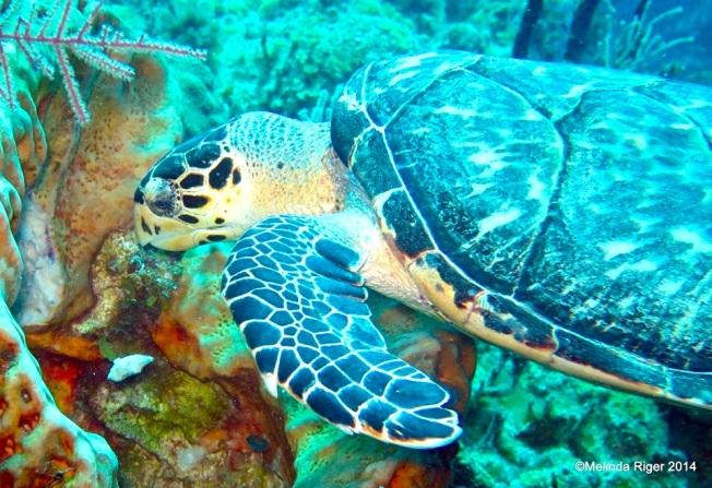 Hawksbill Turtle ©Melinda Riger @ GB Scuba copy