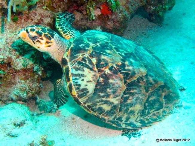 Hawksbill  Turtle ©Melinda Riger @ Grand Bahama Scuba copy
