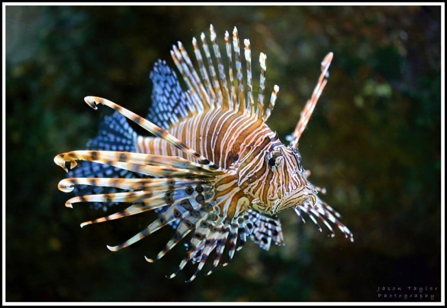 Lionfish ex Facebook
