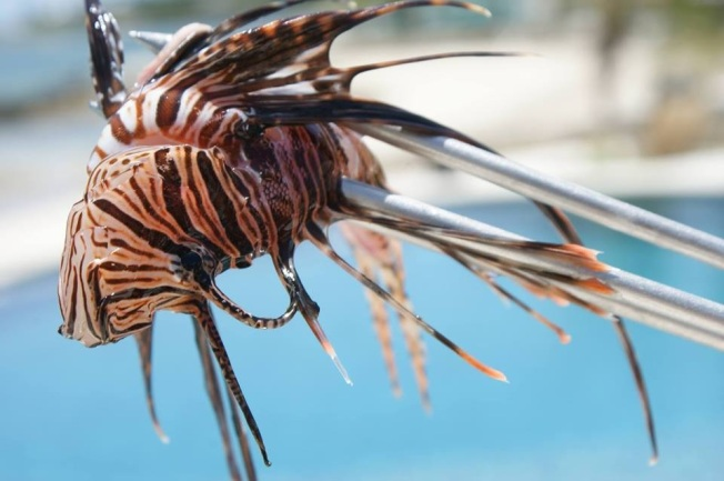 Lionfish, Abaco (FotE)