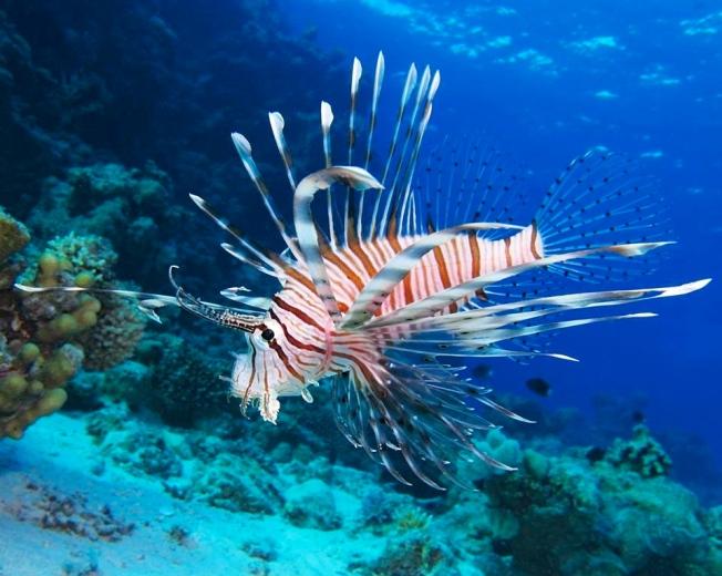 Lionfish, Bahamas (BNT)