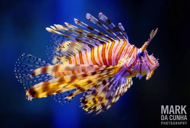 Lionfish by Mark da Cunha