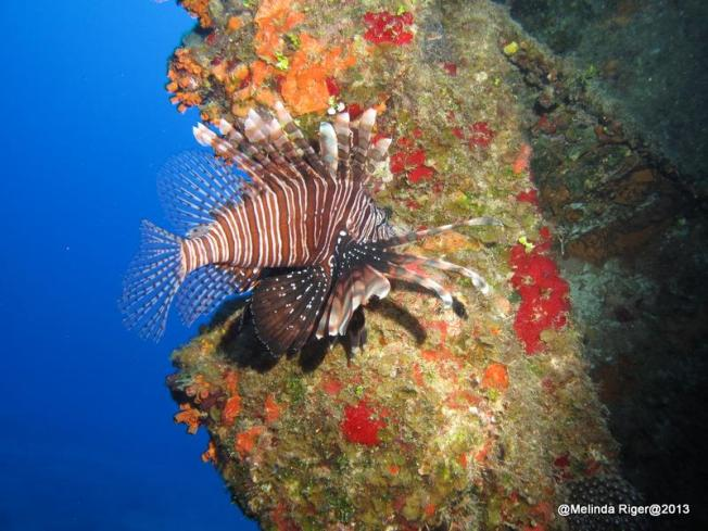 Lionfish ©Melinda Riger @ GB Scuba copy
