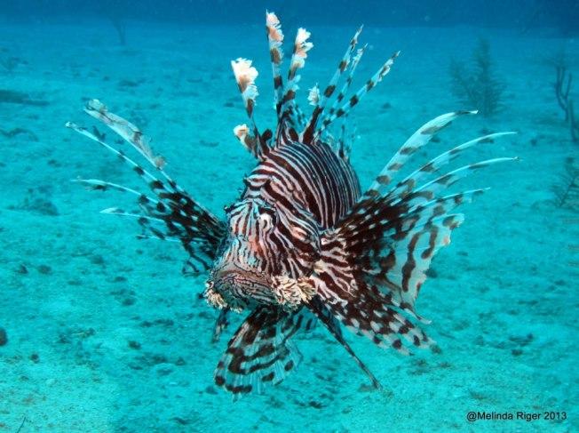 Lionfish ©Melinda Riger @ GB Scuba