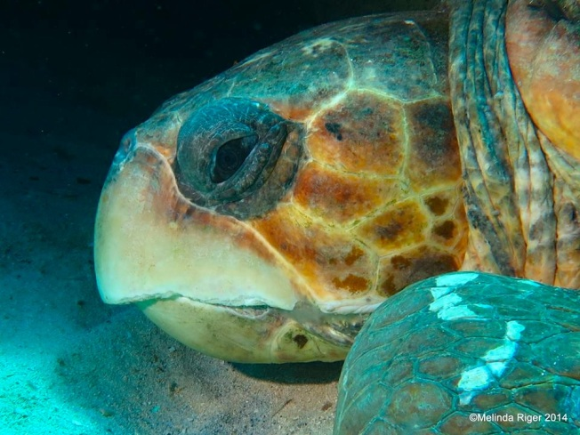 Loggerhead Turtle ©Melinda Riger @ G B Scuba copy
