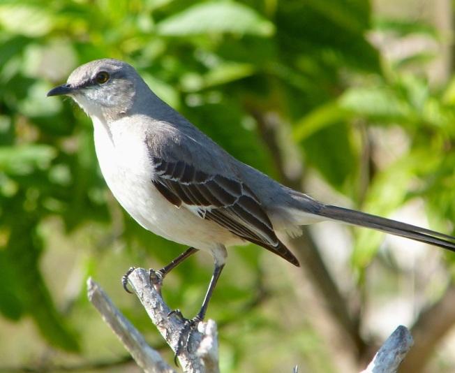 Northern Mockingbird, Abaco (Keith Salvesen)