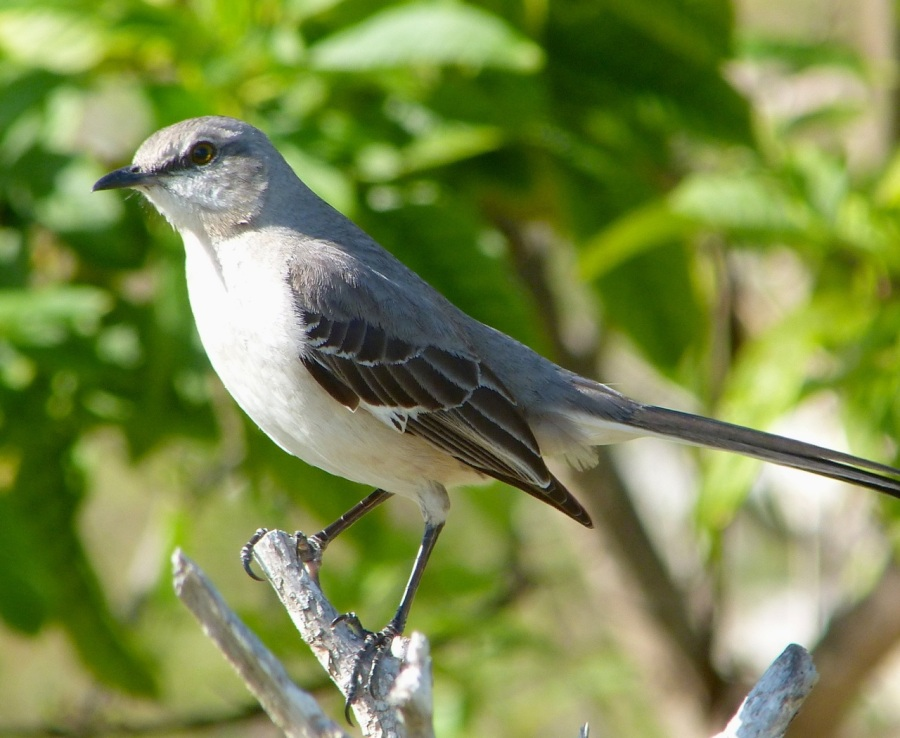 Northern Mockingbird, Abaco (Keith Salvesen)