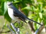 Northern Mockingbird, Delph, Abaco  - Keith Salvesen