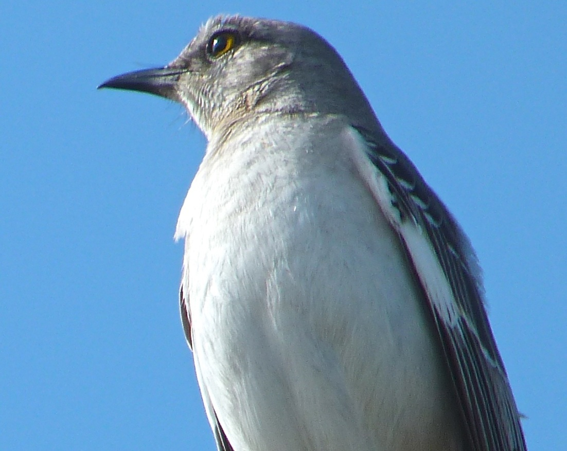 Northern Mockingbird 4
