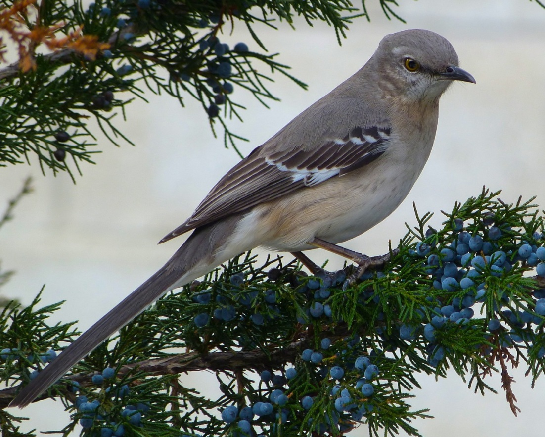 Northern Mockingbird NYC