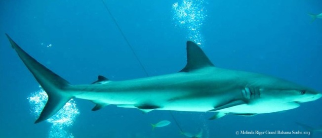 Shark! ©Melinda Riger @ GB Scuba