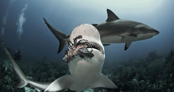 sharks-eating-lionfish-biting-three_34121_600x450