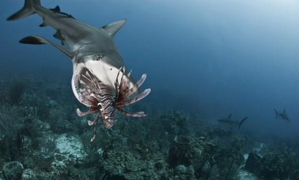 sharks-eating-lionfish-mouth-open_34128_600x450-590x357
