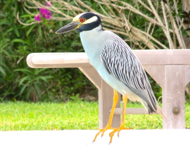 Yellow-crowned Night Heron, Abaco 10
