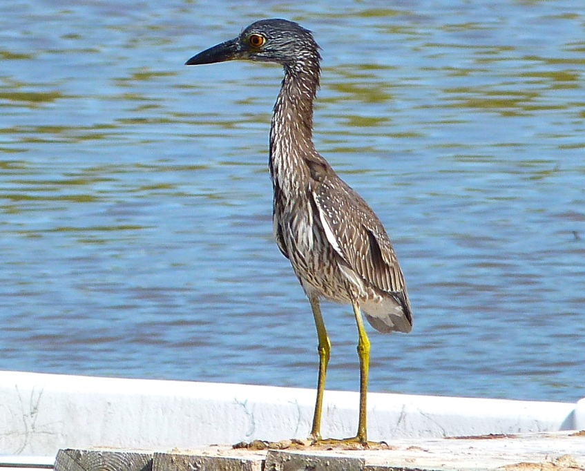 Yellow-crowned Night Heron, Abaco 2