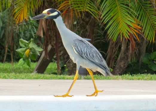 Yellow-crowned Night Heron, Abaco 5
