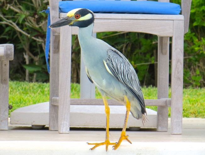 Yellow-crowned Night Heron, Abaco 6