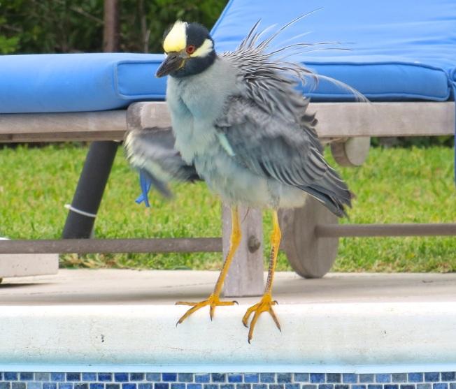 Yellow-crowned Night Heron, Abaco 8