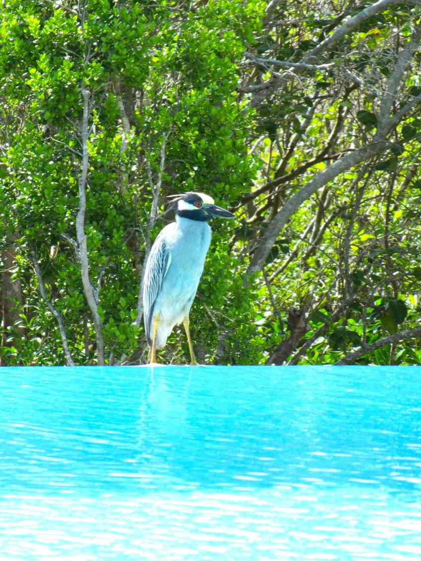 Yellow-crowned Night Heron, Delphi (DR)