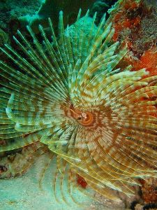 450px-Feather_duster_worm