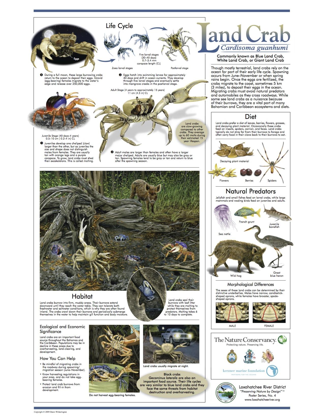 Blue Land Crab - Loxahatchee Poster jpg