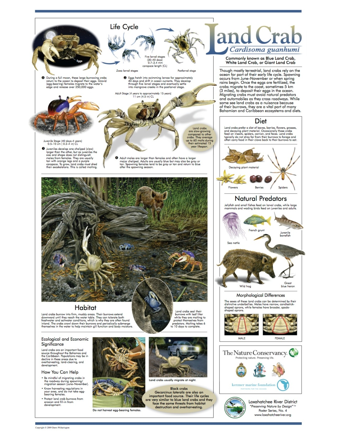 Blue Land Crab - Loxahatchee Poster jpg