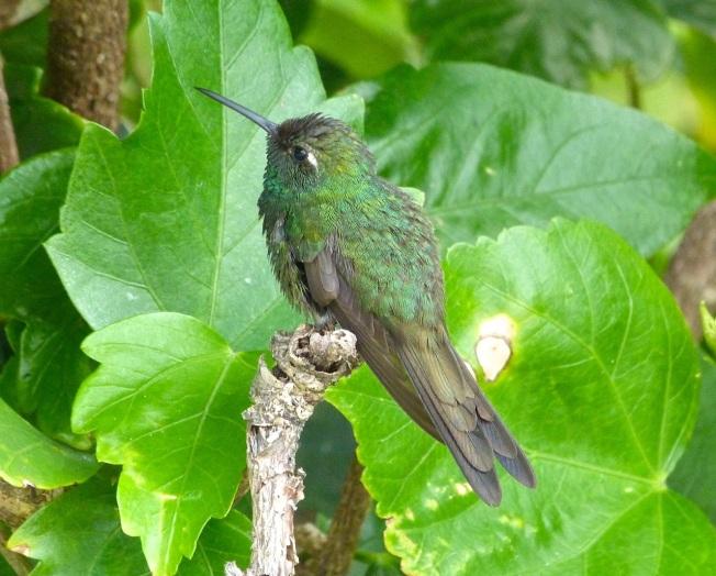 Cuban Emerald Delphi Abaco 2
