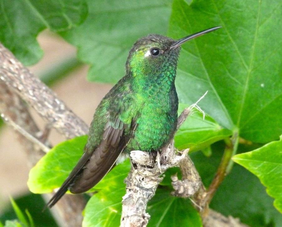 Cuban Emerald (male), Delphi Club, Abaco (Keith Salvesen)