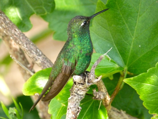 Cuban Emerald Delphi Abaco 5