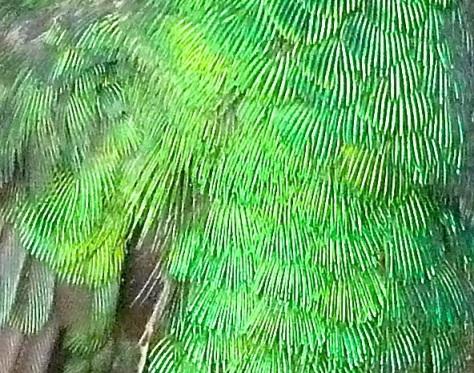 Cuban Emerald Delphi Abaco 6