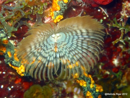 Feather-duster worm (Melinda Riger / G B Scuba)