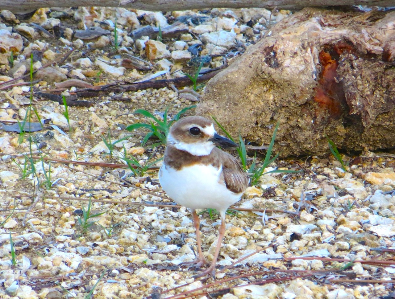 Nettie's Point, Abaco - male Wilson's Plover guards a nest