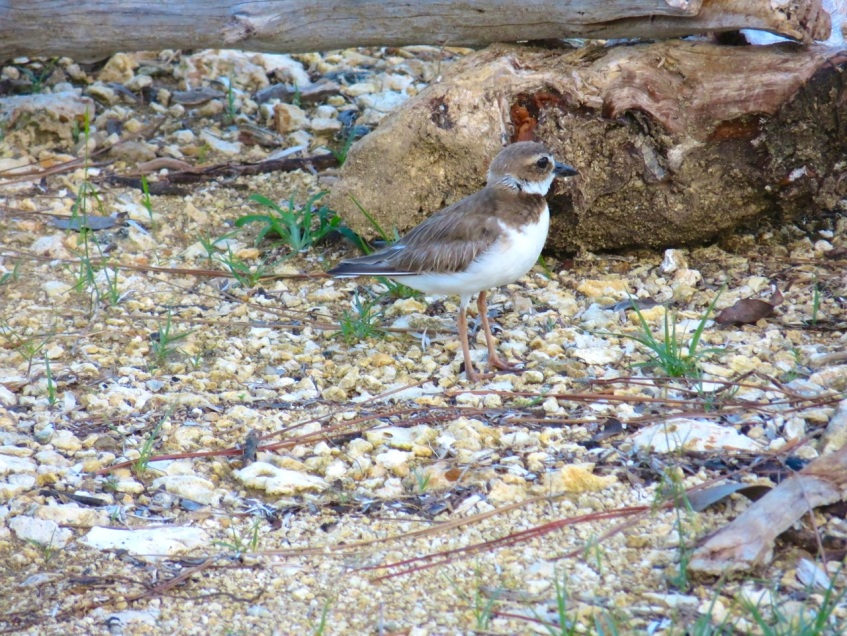 Nettie's Point, Abaco - Male Wilson's Plover guards nest