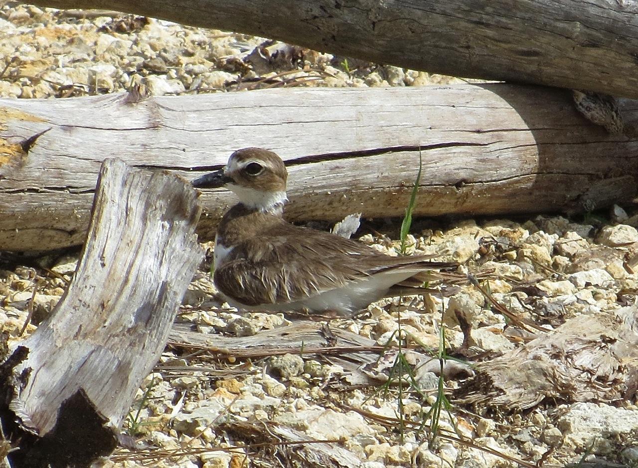Nettie's Point, Abaco - Mrs Wilson's Plover on the nest