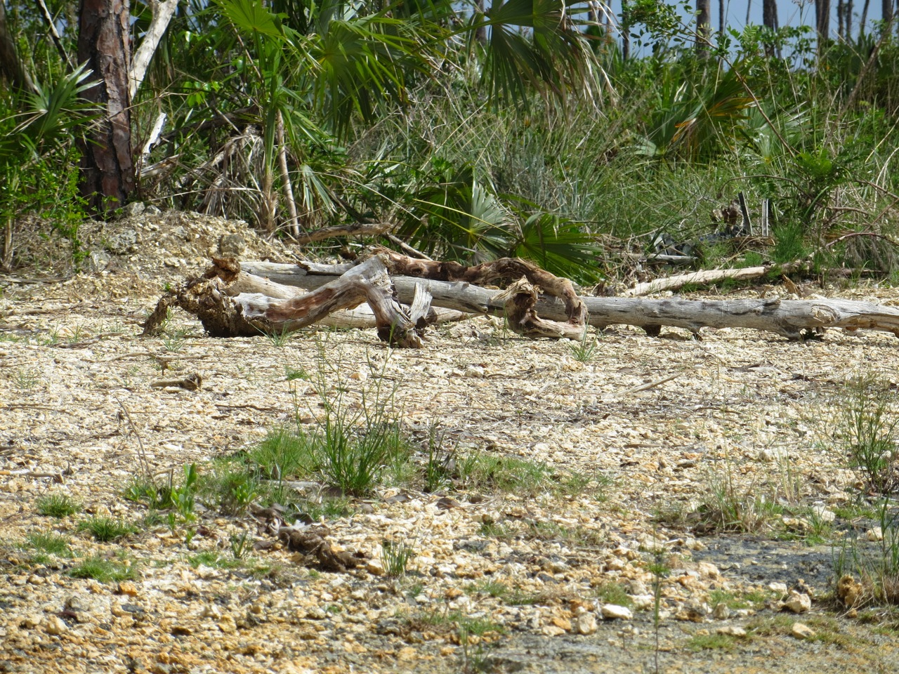 Nettie's Point, Abaco - Plover's nest protection