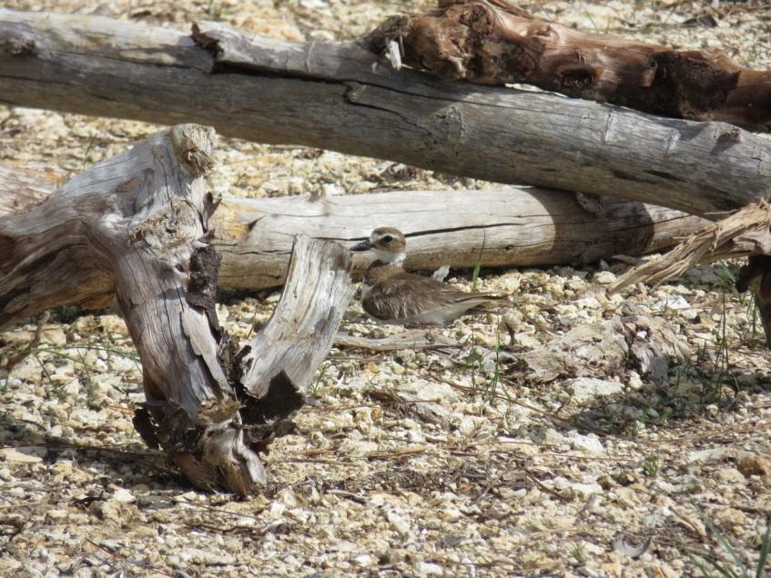 Nettie's Point, Abaco - Female Wilson's Plover on Nest
