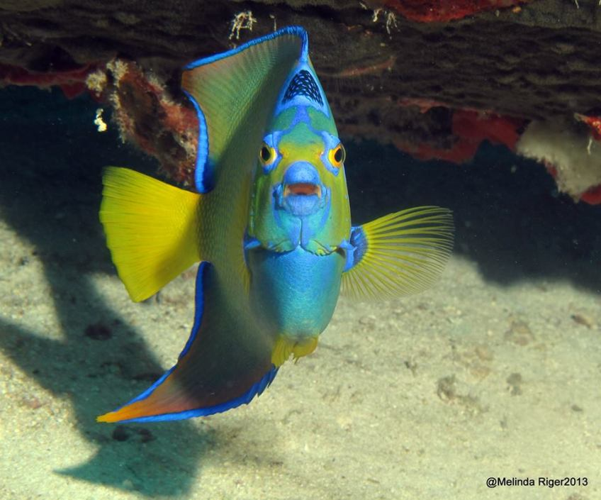 Queen Angelfish © Melinda Riger @ G B Scuba