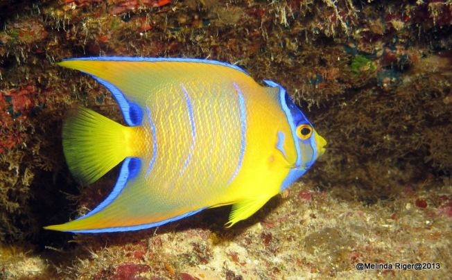 Queen Angelfish (Juv) ©Melinda Riger @ GB Scuba