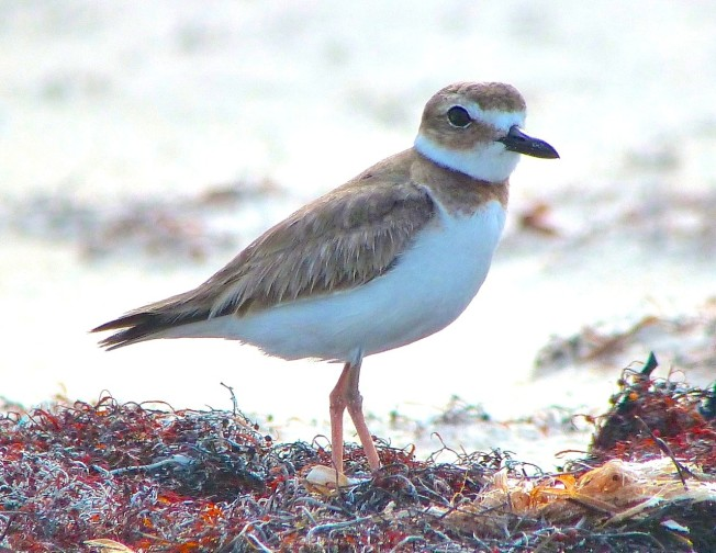 Wilson's Plover, Abaco 11