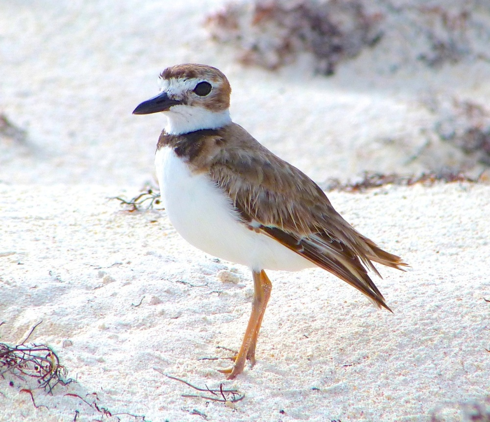Wilson's Plover, Abaco 12