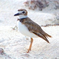 NEST PROTECTION: WILSON'S PLOVERS ON ABACO (2)