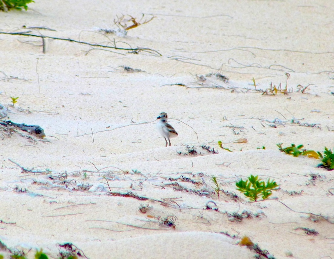 Wilson's Plover, Abaco 13