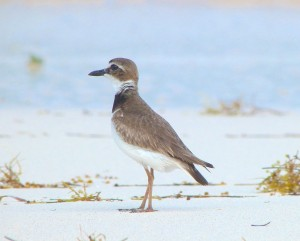 Wilson's Plover, Abaco 2