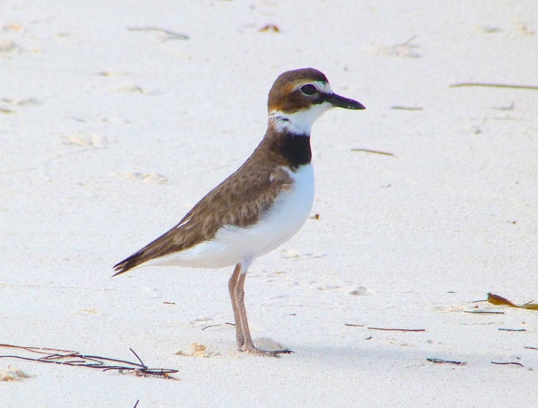 Wilson's Plover, Abaco 5