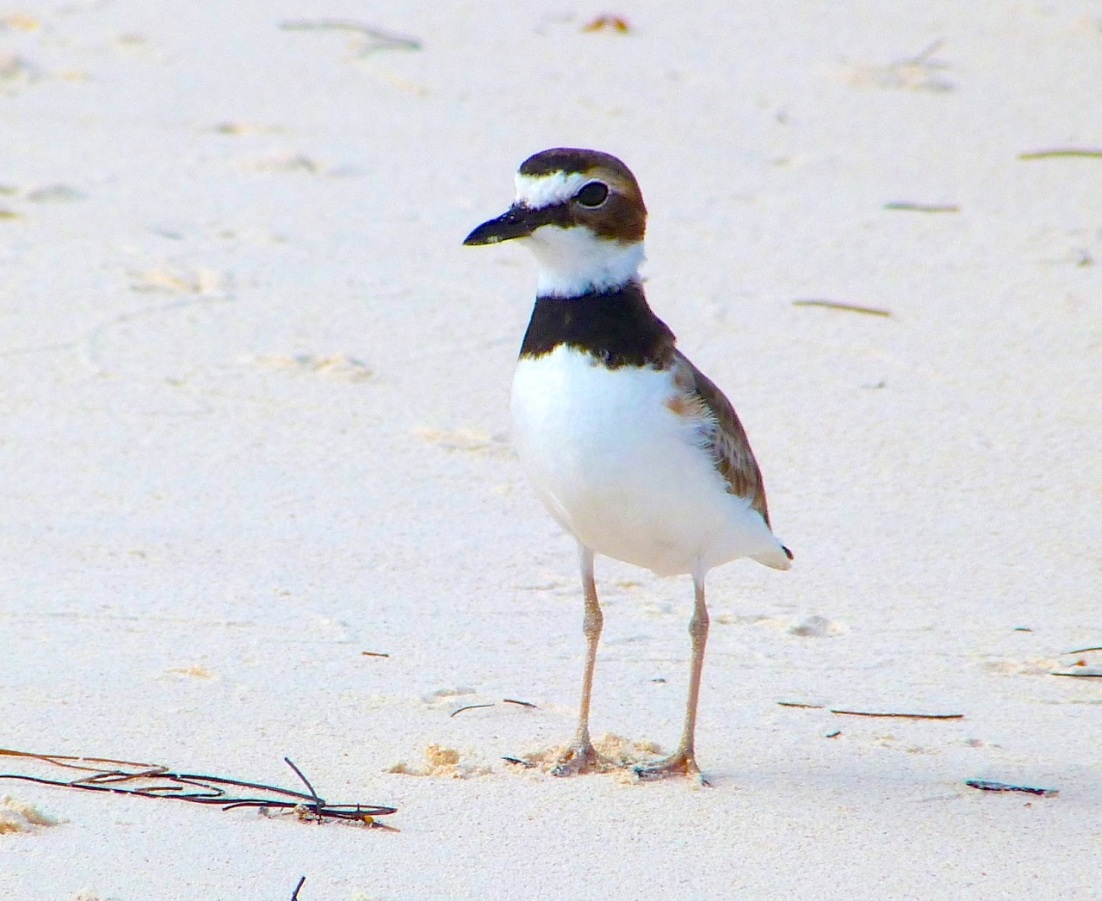 Wilson's Plover, Abaco 6